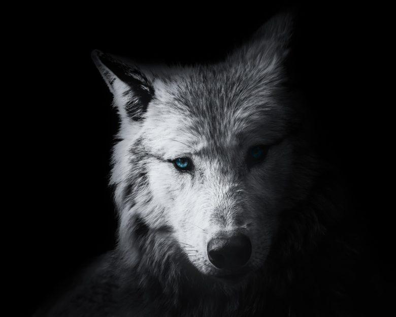 Wiedźmin - biały wilk